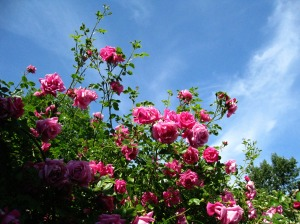 roses_pink_sky